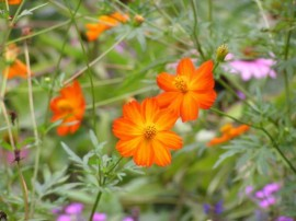 Poze Cosmos bipinnatus Bright Lights
