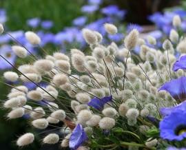 Poze Iarba decorativa Lagurus ovatus