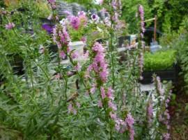 Poze Isop roz-Hyssopus officinalis