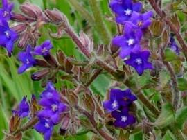 Miruta-Anchusa officinalis
