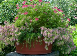 Poze Origanum Rotundifolium Kent Beauty
