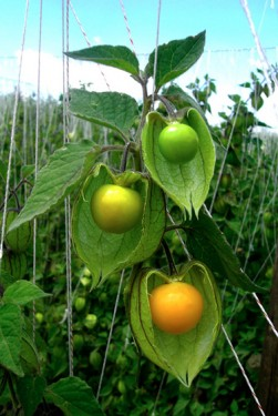 Poze Physalis peruviana-Golden Berry