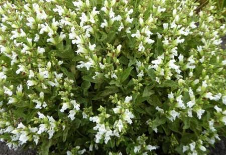 Salvia Off.Albiflora