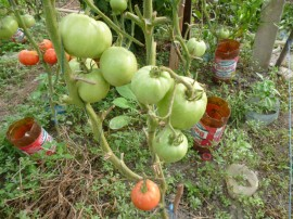 Tomate Buzau 50