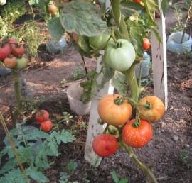 Poze Tomate soi Romanesc Elisabeta