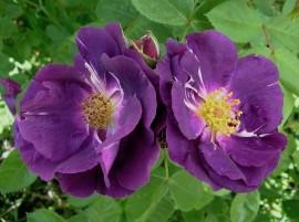 Poze Trandafir Rapsody in Blue