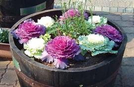 Poze Varza ornamentala