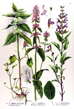 Vindecea-Stachys officinalis