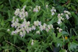 Poze Stridolo-Silene vulgaris