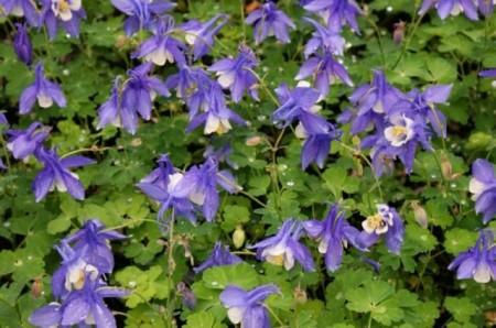 Poze Caldarusa-Aquilegia spring Magic Blue-White
