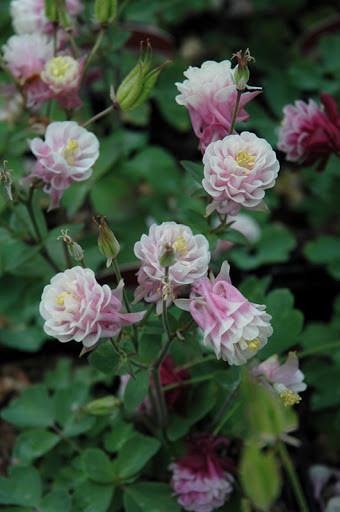 Poze Caldarusa-Aquilegia vulgaris Winki double rose & white