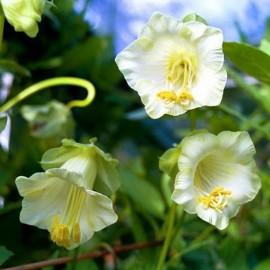 Poze Cobaea scandens-Cobea alba
