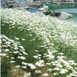 Poze Crizantema sălbatică-Tanacetum cinerariifolium