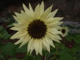 Poze Floarea soarelui decorativa Vanilla Ice