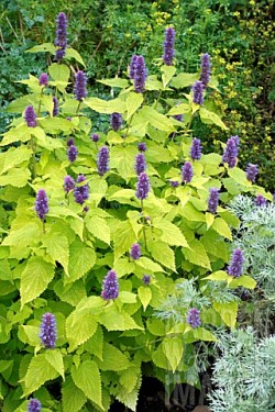 Poze Korean mint-Agastache rugosa Golden Jubilee