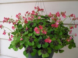Poze Oxalis Deppei Iron Cross
