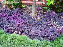 Poze Oxalis triangularis