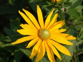 Poze Rudbeckia Hirta Irish Eyes