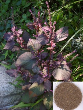 Poze Shiso red