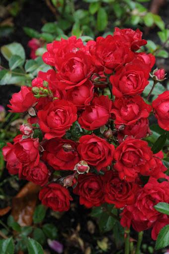 Trandafir Pitic Rote The Fairy