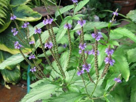Poze Verbena Officinalis