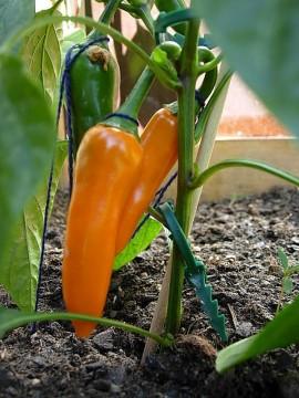 Poze Ardei iute Bulgarian Carrot
