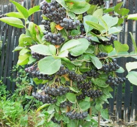 Aronia melanocarpa nero de 4 ani