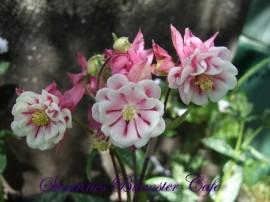Poze Caldarusa-Aquilegia vulgaris Pink Petticoat