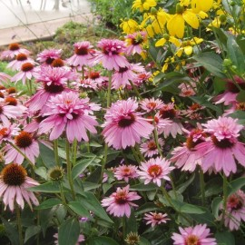 Poze Echinaceea Purpurea Doubledecker
