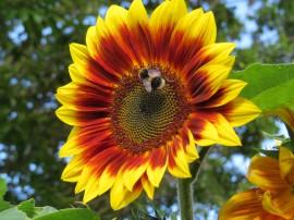Poze Floarea soarelui decorativa Evening Sun