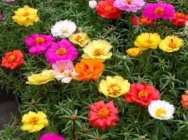 Flori de piatra-Portulaca Grandiflora