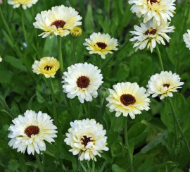 Poze Galbenele-Calendula Off. Snow Princess