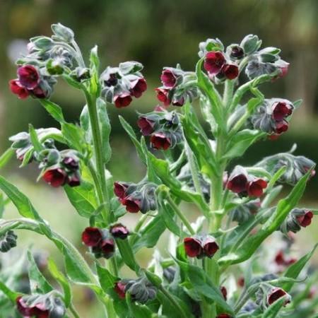 Poze Limba cainelui-Cynoglossum Officinalis