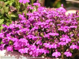Lobelia erinus compacta Purple