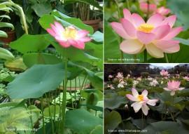Poze Lotus pink-Nelumbo nucifera