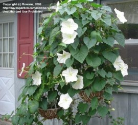 Poze Moonflower-Ipomoea alba