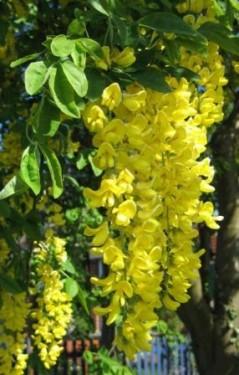 Salcam galben-Laburnum anagyroides