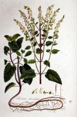 Teucrium scorodonia-Wood Sage
