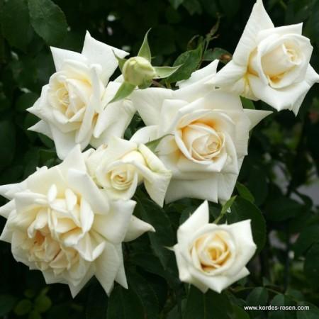 Trandafir Ilse Krohn