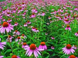 Poze Echinacea Purpurea