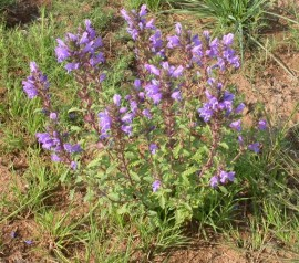 Mataciunea moldoveneasca-Dracocephalum moldavicum L.