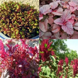 Poze Amaranthus Red Army
