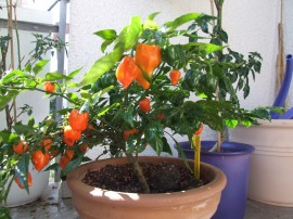 Poze Ardei iute Habanero Orange