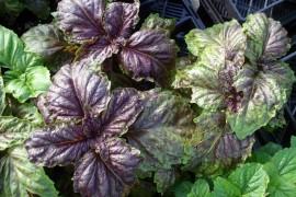Poze Busuioc Lettuce leaf purple