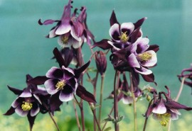 Poze Caldarusa-Aquilegia William Guinness