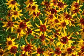 Poze Coreopsis tinctoria Mardi Gras