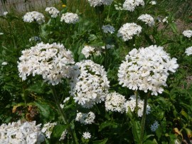 Lychnis chalcedonica white