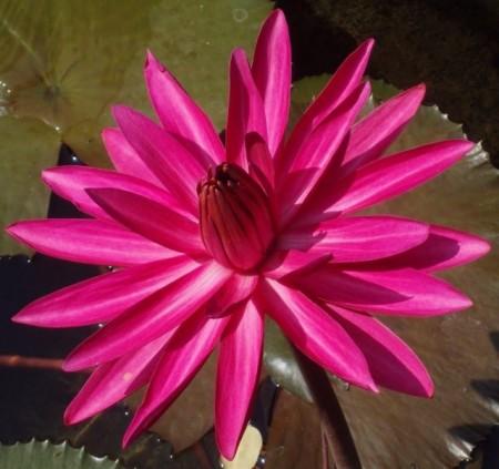 Nufărul Pink-Nymphaea Rubra
