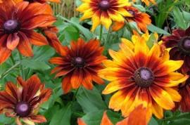 Poze Rudbeckia Hirta Gloriosa Daisy