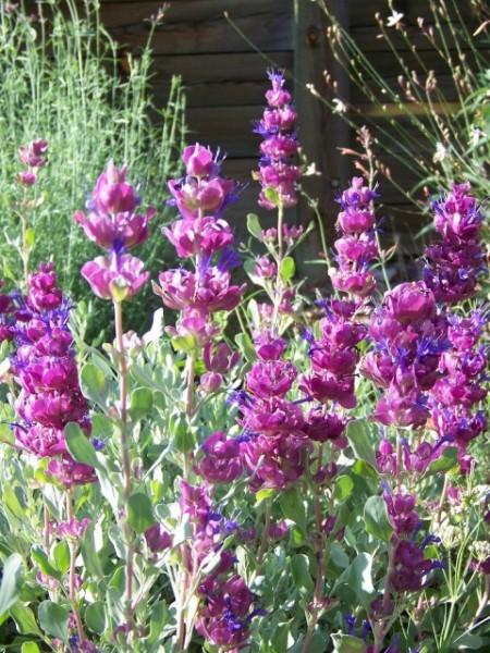 Poze Salvia Pachyphylla